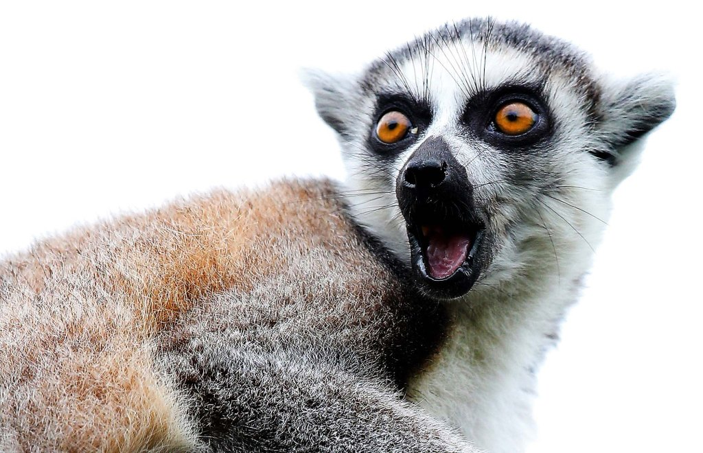 Bristol Zoo Welcomes Their New Baby Ring-Tailed Lemur
