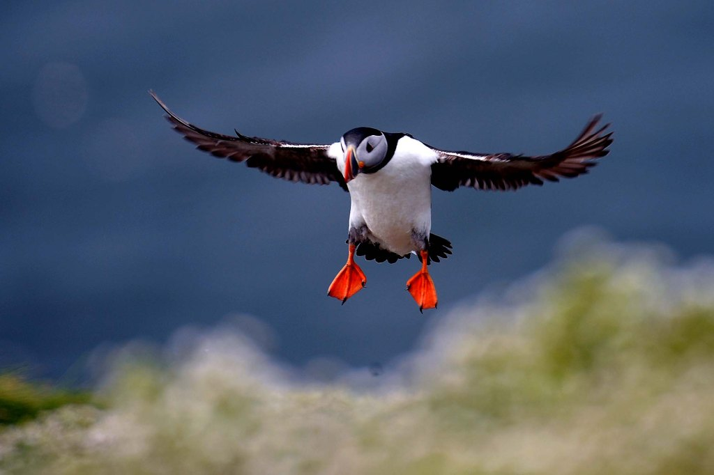 Farne Island Rangers Carry Out 'Puffin Census'